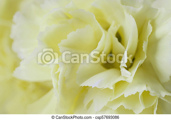 Yellow carnation flower pastel background yellow carnation flower pastel background csp57693086 mightylinksfo