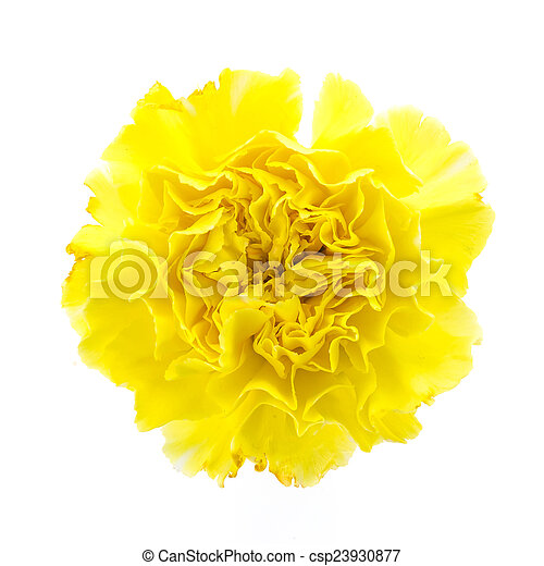 Yellow carnation flower isolated on white background picture yellow carnation flower csp23930877 mightylinksfo