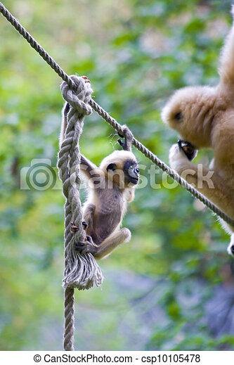 Yellow-cheeked gibbon baby - csp10105478
