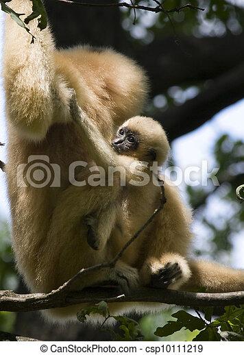 Yellow-cheeked gibbon baby - csp10111219