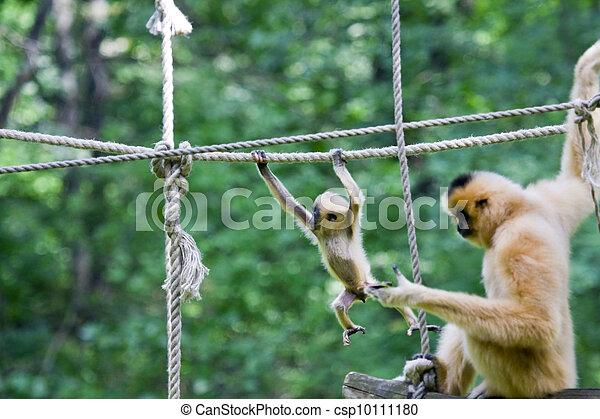 Yellow-cheeked gibbon baby - csp10111180