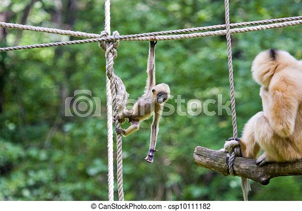 Yellow-cheeked gibbon baby - csp10111182