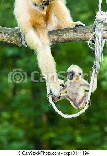 Yellow-cheeked gibbon baby - csp10111196