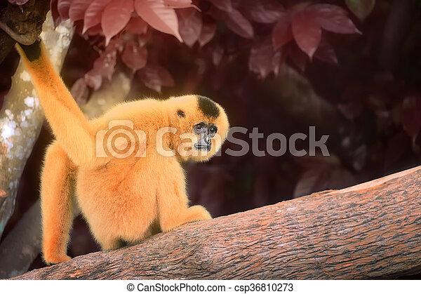 Yellow-cheeked gibbon female, Nomascus gabriellae  - csp36810273