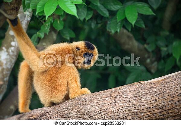 Yellow-cheeked gibbon female, Nomascus gabriellae  - csp28363281