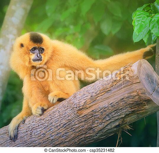 Yellow-cheeked gibbon female, Nomascus gabriellae  - csp35231482