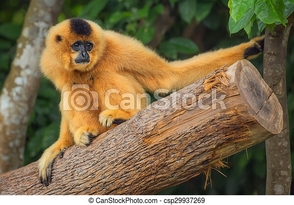 Yellow-cheeked gibbon female, Nomascus gabriellae  - csp29937269