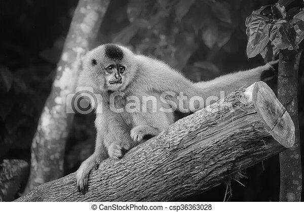 Yellow-cheeked gibbon female, Nomascus gabriellae  - csp36363028