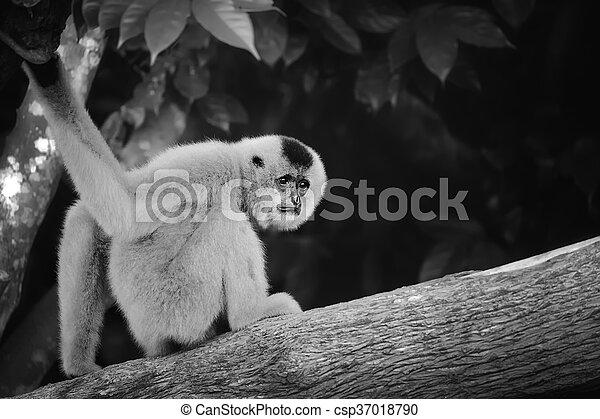Yellow-cheeked gibbon female, Nomascus gabriellae - csp37018790