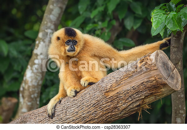 Yellow-cheeked gibbon female, Nomascus gabriellae  - csp28363307