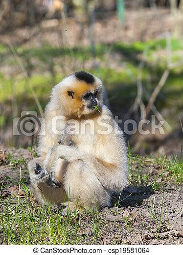 Yellow-cheeked gibbon - csp19581064