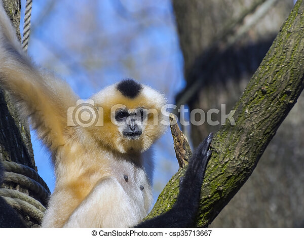 Yellow-cheeked gibbon - csp35713667