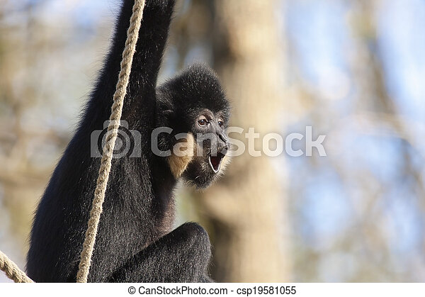 Yellow-cheeked gibbon - csp19581055