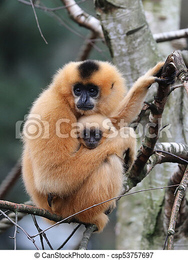 yellow cheeked gibbon - csp53757697