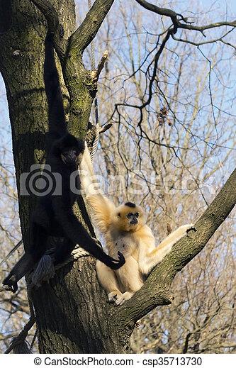 Yellow-cheeked gibbon - csp35713730