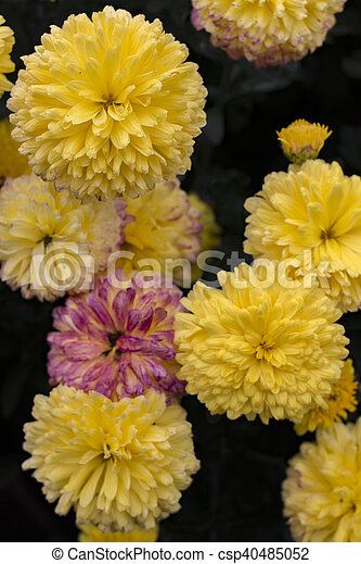 Yellow chrysanthemum flowers in the garden background yellow chrysanthemum flowers in the garden csp40485052 mightylinksfo