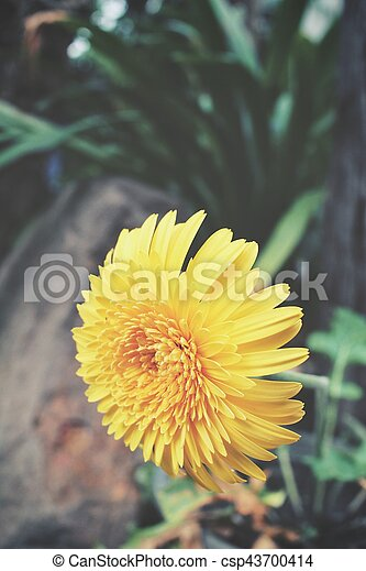 Yellow chrysanthemum flowers yellow chrysanthemum flowers csp43700414 mightylinksfo