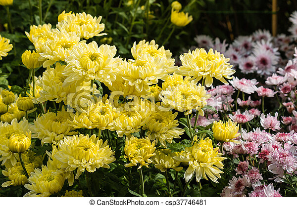 Closeup of yellow chrysanthemum flowers in bloom yellow chrysanthemum flowers csp37746481 mightylinksfo
