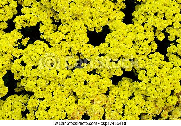 Yellow Chrysanthemum - csp17485418