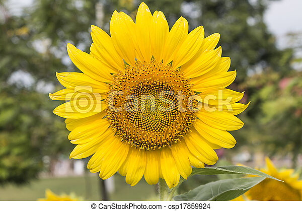 Yellow colour sun flower as green color background stock photo yellow colour sun flower csp17859924 mightylinksfo