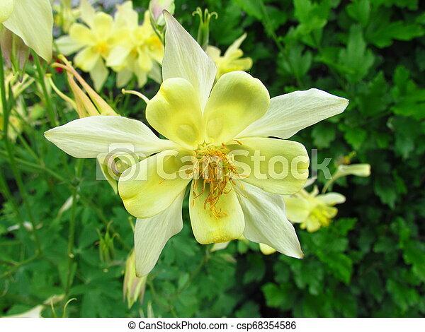 Yellow Columbine Blossom Botany Name Aquilegia Other Name