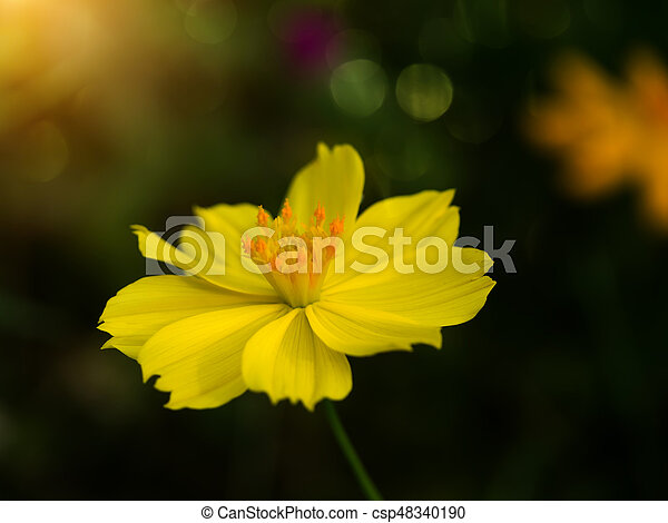 Yellow cosmos flower in the dark background with bokeh light mightylinksfo