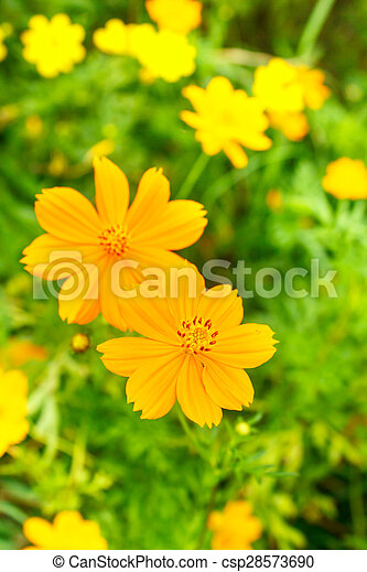 Yellow cosmos flower yellow cosmos flower with bee in the garden yellow cosmos flower csp28573690 mightylinksfo