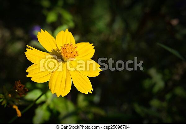 Yellow cosmos flower yellow cosmos flower csp25098704 mightylinksfo