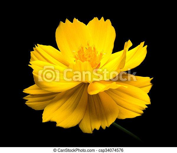Yellow cosmos flowers against black background yellow cosmos yellow cosmos flowers against black background csp34074576 mightylinksfo