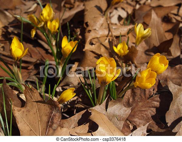 Yellow Crocus vernus in Dried Leaves - csp3376418