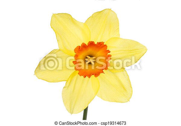Yellow daffodil - csp19314673