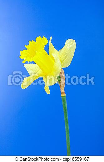 Yellow daffodil - csp18559167