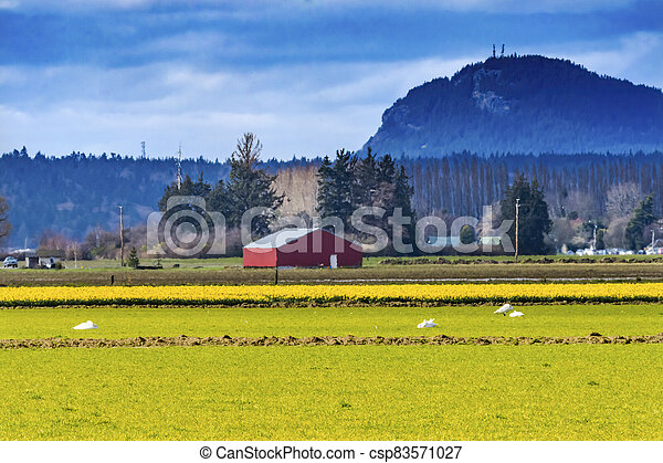 Yellow Daffodils Fields Flowers Red Building Skagit Valley Washington State - csp83571027
