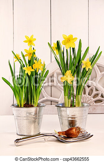 Yellow daffodils in pots - csp43662555
