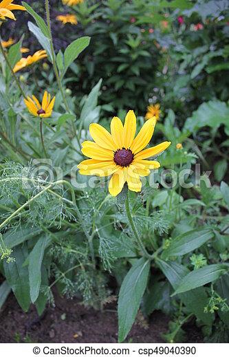 Yellow daisies - csp49040390