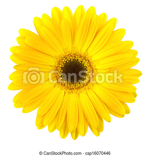 Yellow daisy flower isolated on white - csp16070446