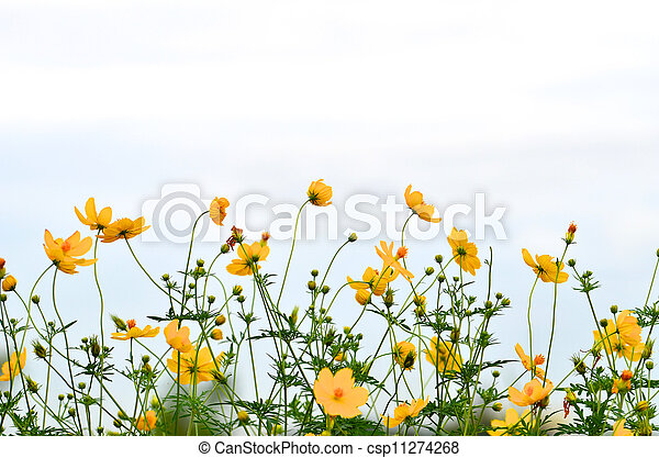 Yellow daisy in the Field - csp11274268