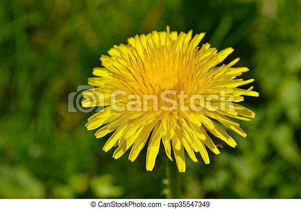 Yellow dandelion flower - csp35547349