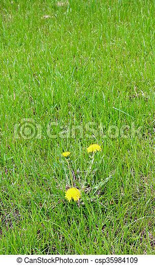 yellow dandelion flowers in spring - csp35984109