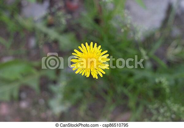 yellow dandelion growing in a green meadow - csp86510795