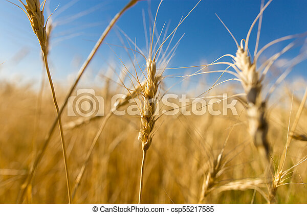 Yellow ears of wheat against the blue sky - csp55217585