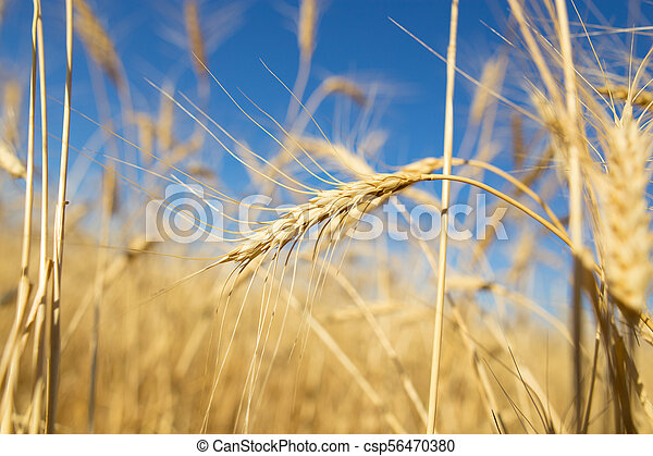 Yellow ears of wheat against the blue sky - csp56470380