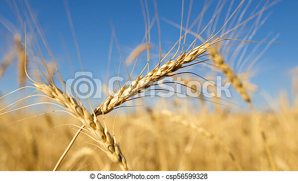 Yellow ears of wheat against the blue sky - csp56599328