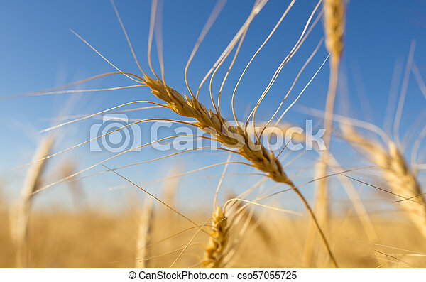 Yellow ears of wheat against the blue sky - csp57055725