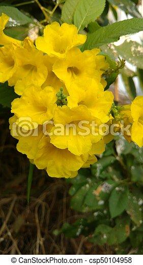 Yellow elder or trumpet flower or tecoma stans close up of yellow yellow elder or trumpet flower or tecoma stans csp50104958 mightylinksfo