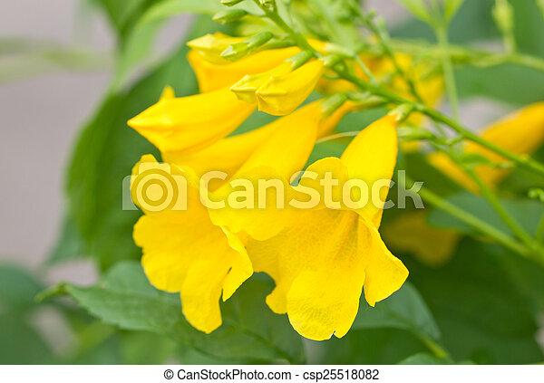 Yellow elder yellow bells or trumpet vine flowers scientific yellow elder yellow bells or trumpet vine flowers scientific name tecoma stans mightylinksfo