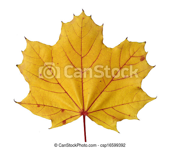 yellow fall color of maple leaf - csp16599392