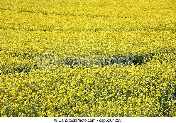 Yellow field rape - csp5264223