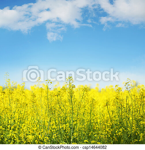 Yellow field rapeseed in bloom - csp14644082