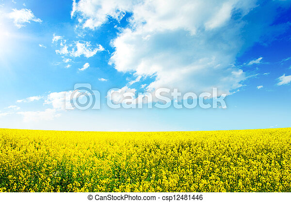 Yellow field rapeseed in bloom - csp12481446